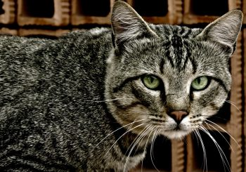 What Can Pet Insurance Do for Your Tabby Cat?