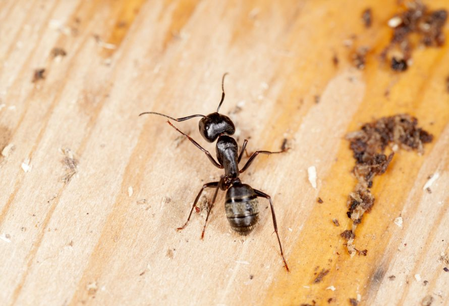 Control Your Indoor And Outdoor Wood Damages Due To Carpenter Ant Invasion